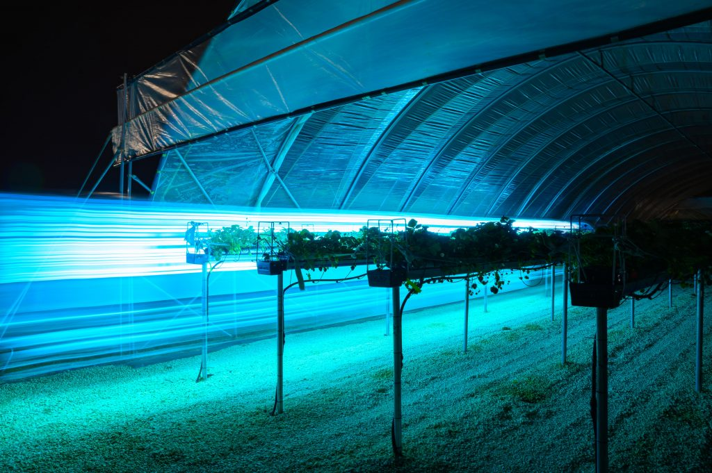 Thorvald doing light treatment on strawberries at night