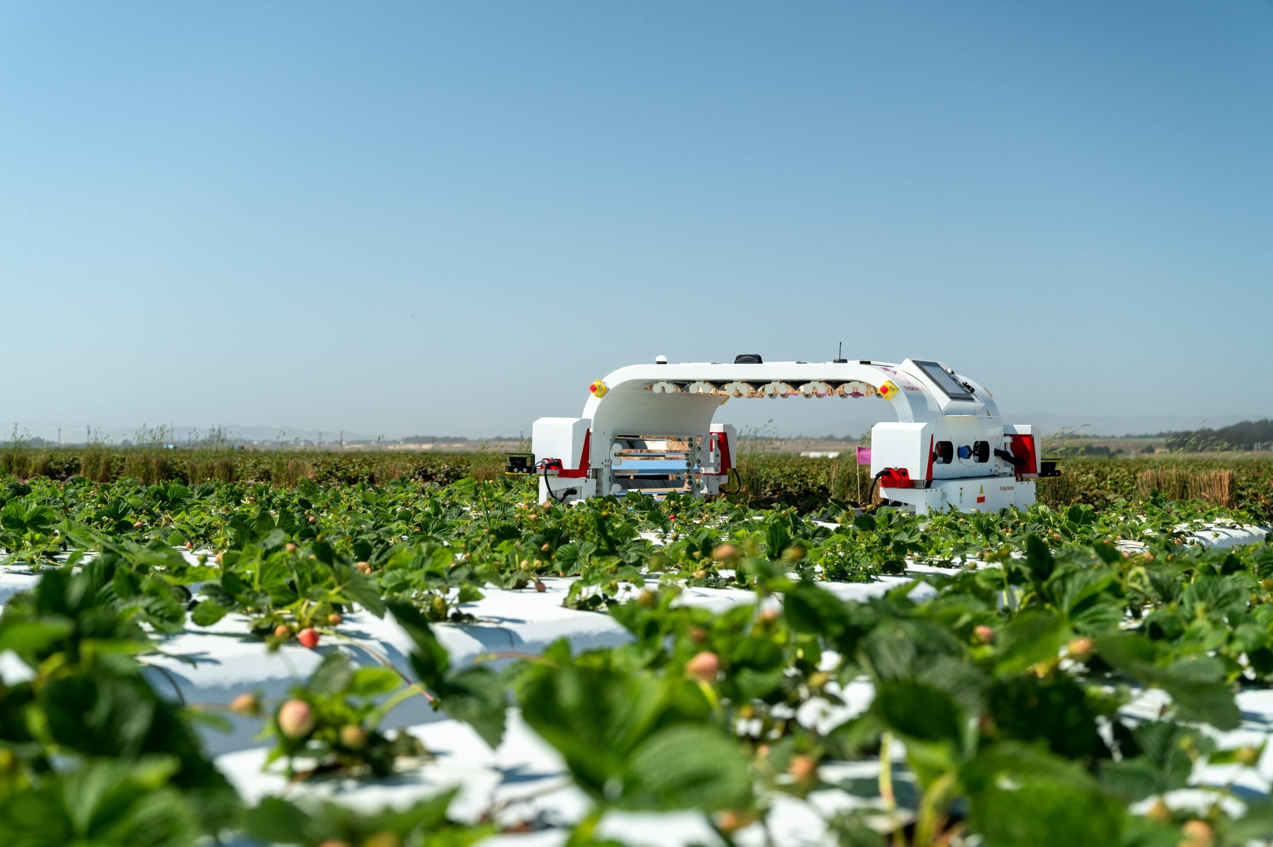 Thorvald in open strawberry fields