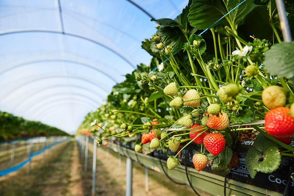 http://Strawberries%20treated%20by%20Thorvald%20agricultural%20robot