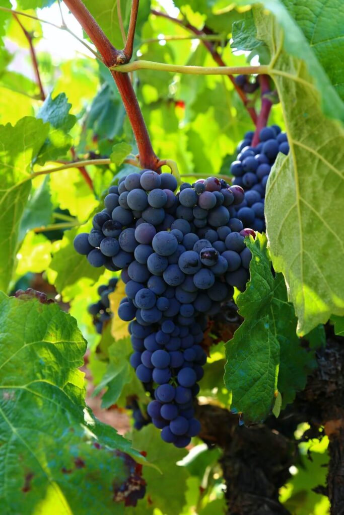 Treated grapevine